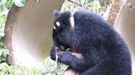 台灣黑熊Mulas返山林週年 解除追蹤頸圈