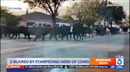 Herd of cows escapes from California slaughterhouse and strolls through neighborhood, injuring two people