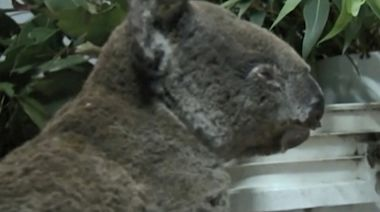 Bushfires turn world's attention to plight of koalas in Australia
