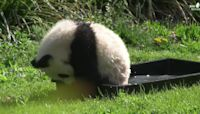 Cub in a Tub! Baby Panda Splashes Around at Berlin Zoo