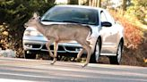 Driver alert: Deer-related crashes peak this time of year
