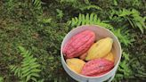 【食力】有好的可可才有好的巧克力!品種混雜成台灣可可發展隱憂?