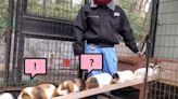 動物園還原天竺鼠車車「塞車橋段」 網笑:太療癒!   寵毛網