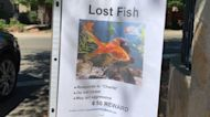 Lost fish becomes a viral laugh in California neighborhood