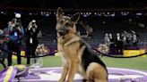 Westminster dog show winner: from Rumor to best in show