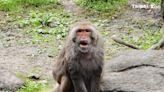 台灣獼猴「榮哥」光榮卸任 新任「核心雄猴」尚未出爐 | 生活 | 新頭殼 Newtalk