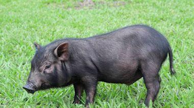 活化石保種成功!蘭嶼豬返鄉 誕下第一代豬寶寶