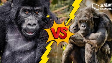 【猿人爭霸戰】人類首記錄非洲黑猩猩與大猩猩群族「打仗」 兩次均由黑猩猩勝出 | 立場科學 | 立場新聞