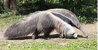 Anteater – Spirit Animal, Symbolism and Meaning