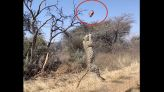 Leopard's 'stunning' leap showcased in slow-motion video