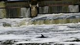 Minke whale is lost far from home in London's Thames River