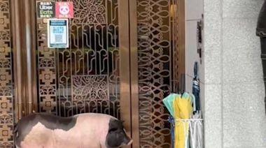 獨家》奇景! 麝香豬逛中市七期豪宅 人豬纏鬥2小時