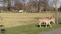 Adult Deer Guide Fawns Across Park in Dublin