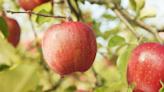青森蘋果一級棒!蘋果捲、蘋果派、法式薄餅等產地必吃5種美味蘋果甜點介紹