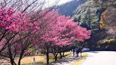 2021台灣櫻花季花期倒數!賞櫻絕美景點、祕境、露營區一次收藏