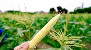 北海道牛奶玉米 竹市成功培育