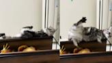 貓咪高處落下重擊貓奴臉部 神反應瞬間網評「龍卷旋風腳?」