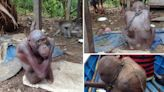 Sad story of world's most miserable Orangutan who went BALD while chained up