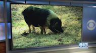 Pig Pursuit In El Dorado County