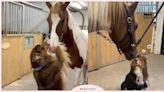 完美詮釋女友比你高!「澳洲牧羊犬」與「馬兒」的純純友情,亂留情結果被一秒攔截! | 寵物圈圈 | 妞新聞 niusnews