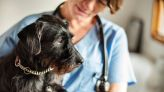 Hookworm parasites in dogs are developing resistance to treatments