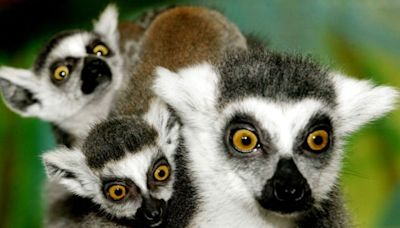 Climate change: Lemurs and giant tortoises among species facing extinction if global warming reaches 3C