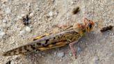 東非蝗災持續肆虐 3600億隻「害蟲」讓多國陷糧食危機