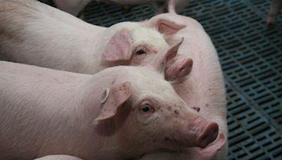 大陸 養豬業遭遇最慘週期 - 工商時報