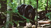 WNC Bear hunting season kicks off with healthy, growing population