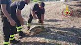 Brindisi, la tartaruga salvata dai vigili del fuoco riconquista il mare e prende il largo