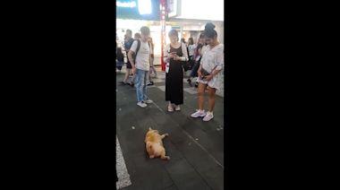 Tabby cat plays dead outside restaurant in Taiwan