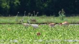 14 whooping cranes hatched in Louisiana this year; 4 survive