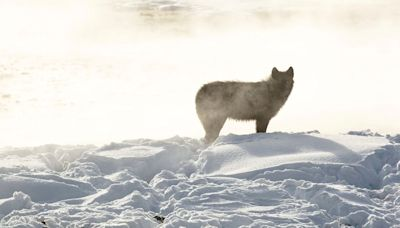 Red States' Wolf-Killing Campaign May Have Just Backfired