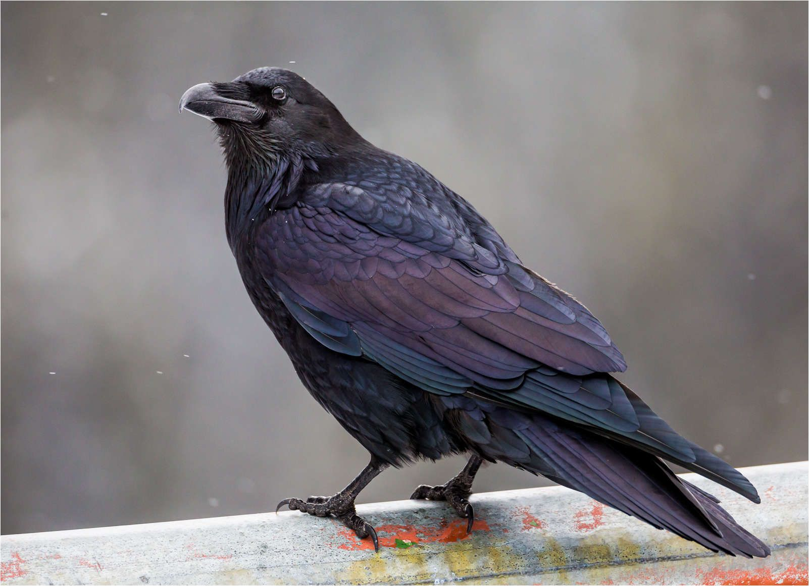 common raven | Christopher Martin Photography