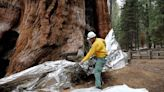 General Sherman tree in Sequoia National Park unwrapped after fire threat passes