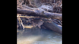 Deer pinned in log-jammed creek pulled to safety by NC firefighters in unusual rescue