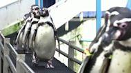 Thai penguins keep fit during lockdown