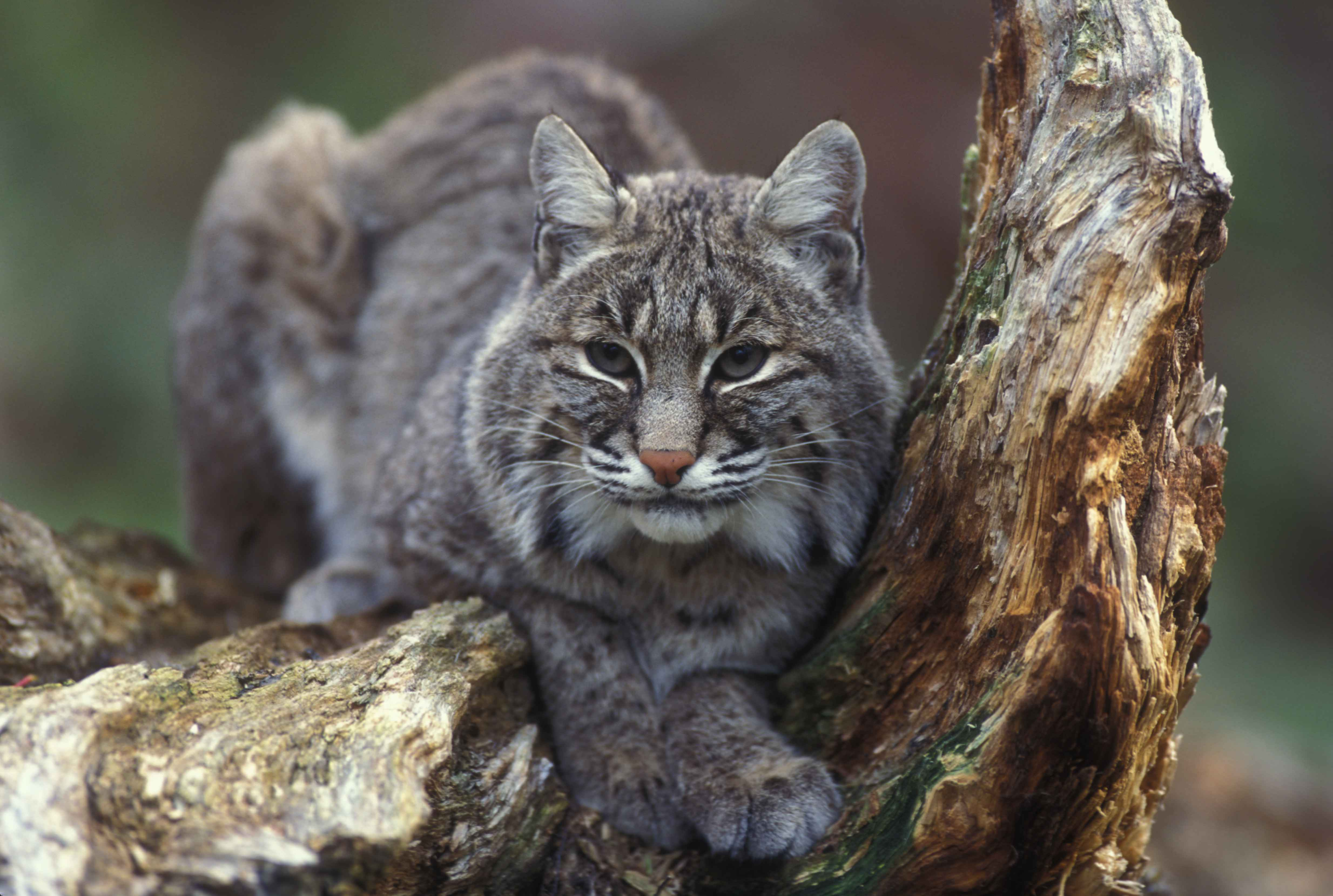 ... bobcat hunting in Illinois for the first time in more than 40 years
