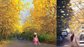 三月滿城黃金海 黃花風鈴木6大超狂景點美到看不到盡頭