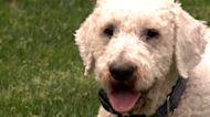 Dog DNA Testing: Unlocking Your Pup's Genetic Secrets