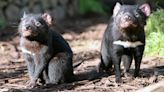 Tasmanian devils devastate penguin population on Australian island