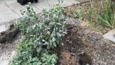 Can a new tree grow from the stump of a dogwood lost to an ice storm? Ask an expert