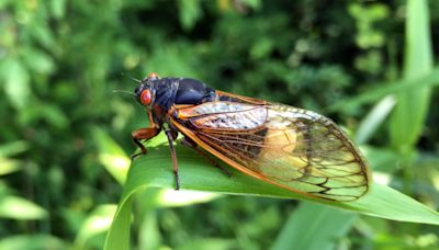 Storms of Cicadas Are Showing up on Weather Radars in DC