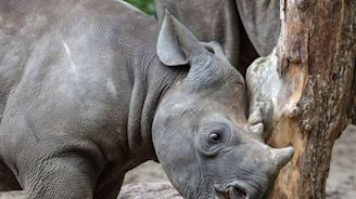 South Africa expands trophy hunting permit program for black rhinos. They argue it's good for the animals