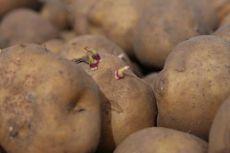Genetically modified potato