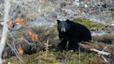 Woman killed in rare attack by black bear in remote Alberta forest