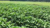 U.S. regulators allow genetically modified cotton as human food source