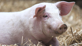 Gas crisis: Pig farmers fear they may have to cull animals