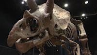 Triceratops skeleton sold at Paris auction for over $7 million to American collector