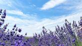 薰衣草花季來臨!紐約長島就能欣賞紫色花海